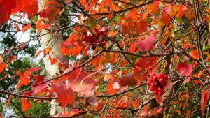 The beautiful leaves and berries on a Washington Hawthorn.