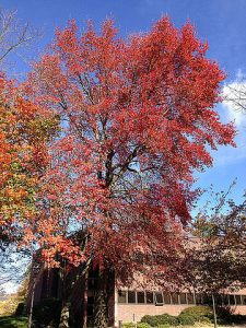 A beautiful Black Gum tree starts to change colors.