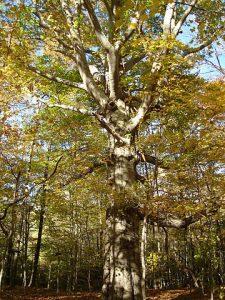 Fully grown Beech tree.