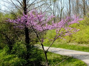 A young Eastern Redbud tree.