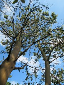 Trees touched by Sudden Oak Death.