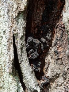 Visible cankers on a dying tree from Thousand Cankers Disease.