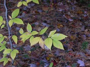 Shoots from an American Beech tree.
