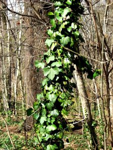 Ivy thriving while a tree is overtaken.