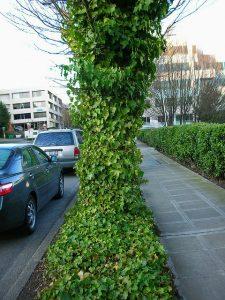Ivy wraps around a tree.
