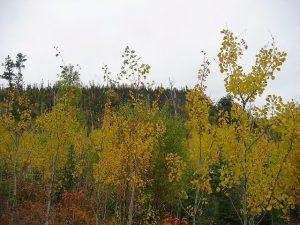 Young birch saplings.