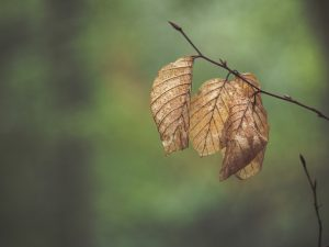 A browning leaf just hanging on.