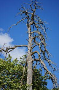 Dead tree still standing.