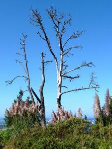 Dead white birch trees.